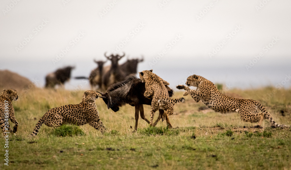 Cheetahs attacking wildebeest