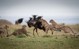 Fototapeta Sawanna - Cheetahs attacking wildebeest