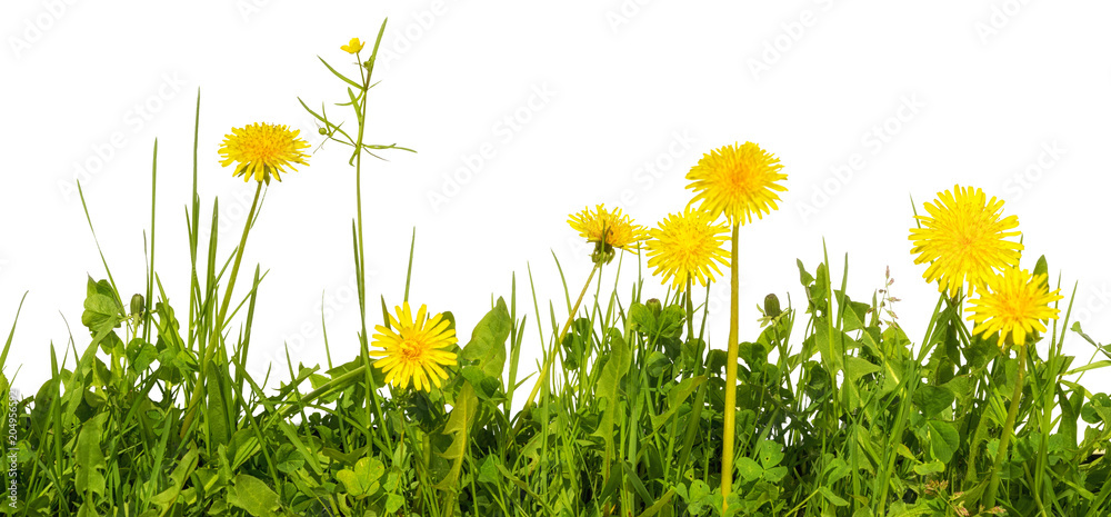 Fototapety, obrazy: meadow grass with yellow dandelion flowers isolated on white background