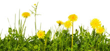 Meadow Grass With Yellow Dande...