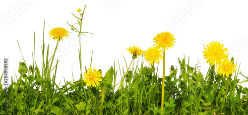 meadow grass with yellow dandelion flowers isolated on white background