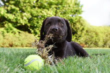 Cute Labrador Puppy Dog Lying Down In Grass With Tennis Ball And Eating Grass