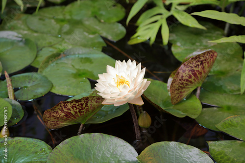 Foto op Canvas Waterlelies Large floating water lily flower with green leaves
