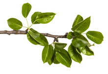 Branch Of A Pear Tree With Gre...