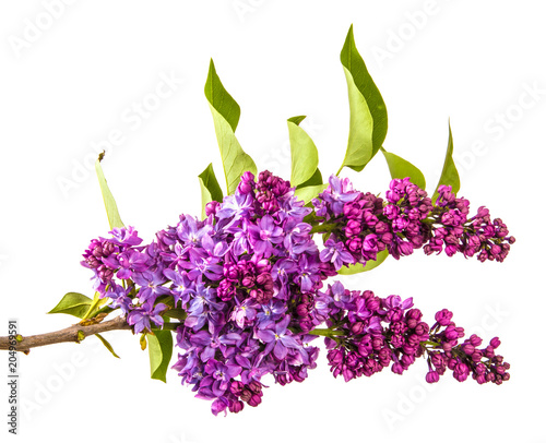 Foto op Canvas Lilac blossoming lilac with purple flowers. Isolated on white background