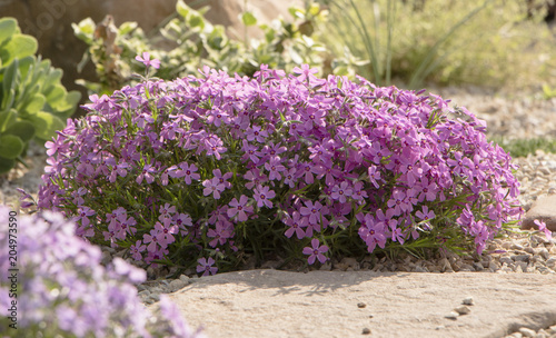 Recess Fitting Lilac Purple creeping phlox, on the flowerbed. The ground cover is used in landscaping when creating alpine slides and rockeries