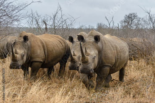 Fototapeta premium White rhinoceros in Hlane Royal National Park, Swaziland