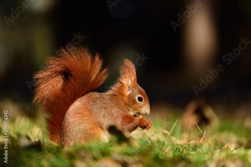 Deurstickers Eekhoorn beautiful squirrel