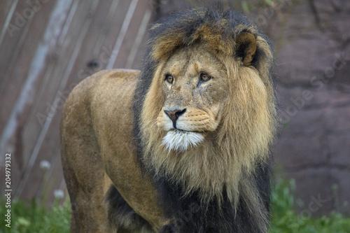 Foto op Plexiglas Leeuw Lion at a Zoo