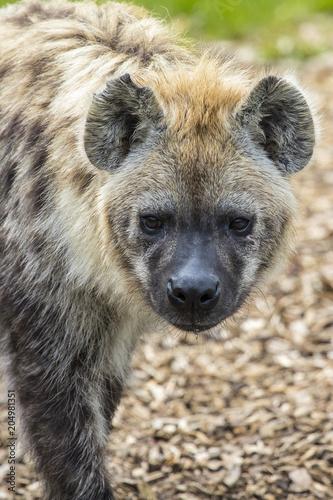Papiers peints Hyène Hyena