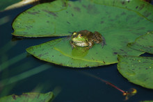 Frog On Lily Pad 3/4 View