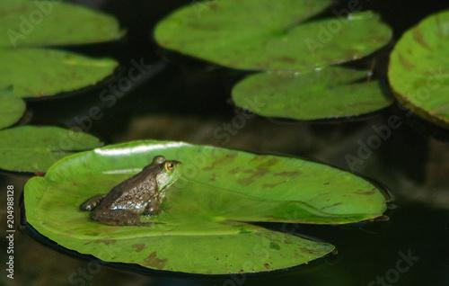 Fototapeta frog on lily pad