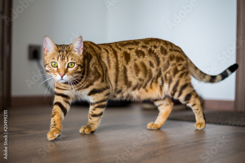 Foto  Funny beautiful Bengal cat trying to hide himself at home