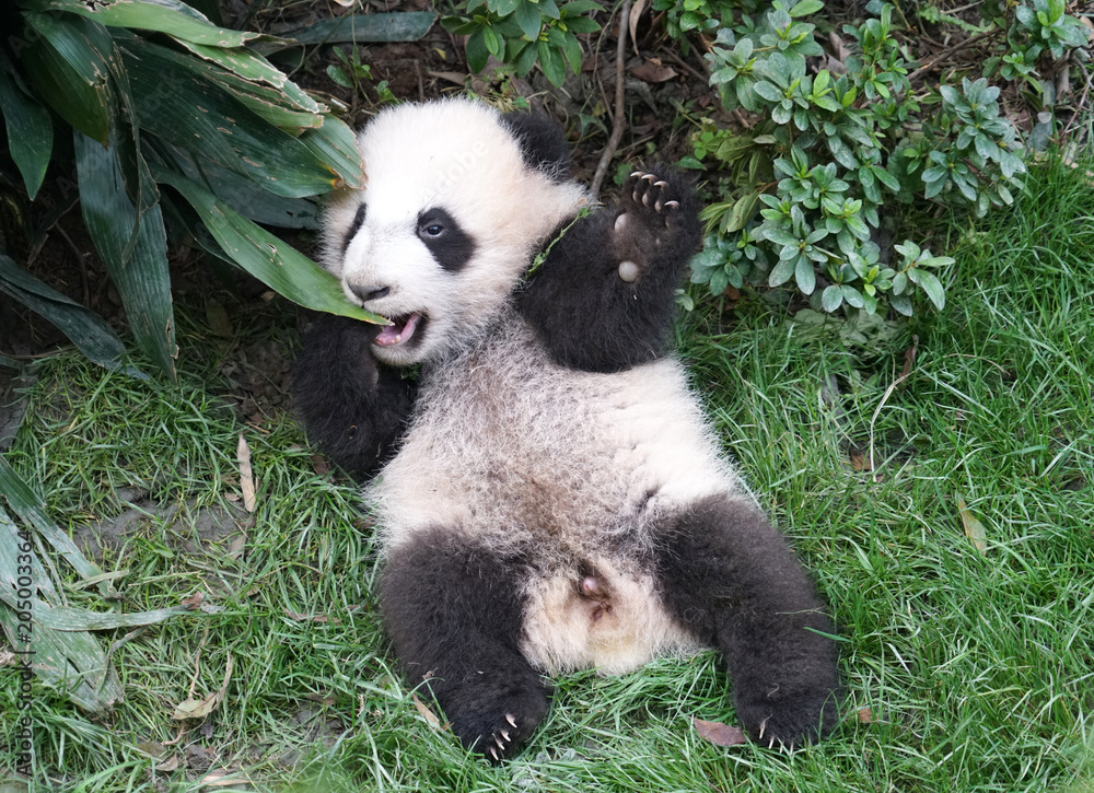 Cute baby panda playing on the ground
