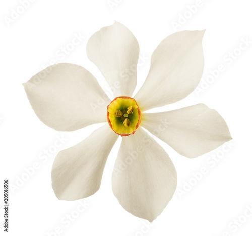 Foto op Plexiglas Magnolia Daffodil