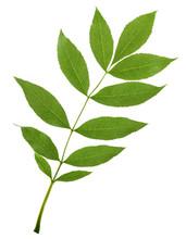 Ash Tree Branch