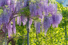 Wisteria Lane In Park. Chinese...