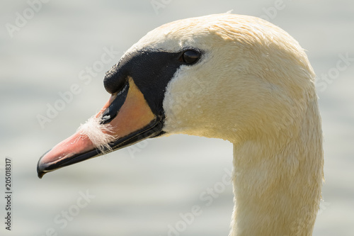 Foto op Canvas Zwaan White swan swimming on a lake