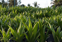 Oil Palm Seedlings For Farmers To Plant.
