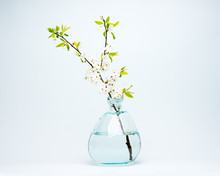 Glass Vase With Blooming White Cherry Flowers On A Blue Background.