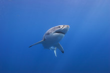 Great White Shark Bottom View Showing Sharp Rows Of Teeth In Blue Water
