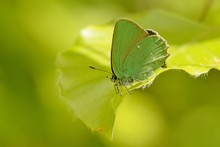 The Green Hairstreak (Callophr...