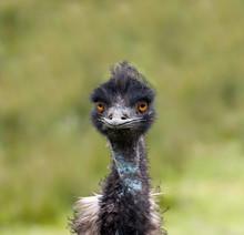 Emu Bird Face Closeup
