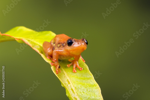 Fotografia, Obraz Cute golden sedge frog