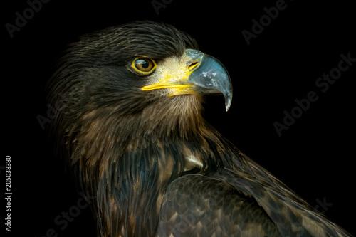 Portrait of sea eagle (Haliaeetus albicilla)