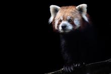 Portrait Of A Red Panda (Ailur...