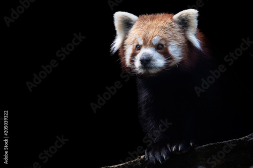 Deurstickers Panda Portrait of a red panda (Ailurus fulgens) isolated on black background