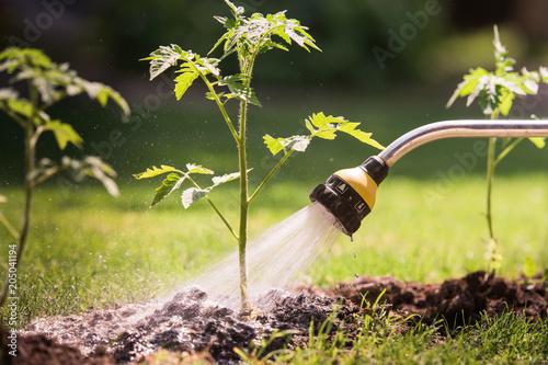 Papiers peints Secheresse Watering seedling tomato plant in greenhouse garden