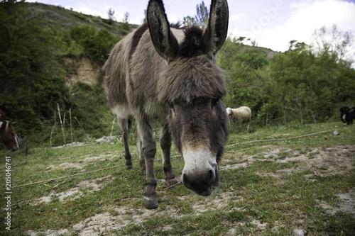 Poster Ezel Donkey in field