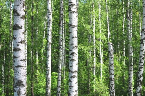 Tuinposter Berkbosje Beautiful birch trees with white birch bark in birch grove with green birch leaves in early summer