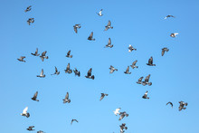 A Flock Of Pigeons Against The...