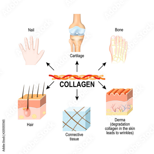 Photographie Collagen is the main structural protein in the: connective tissues, cartilages, bones, nails, derma and hair