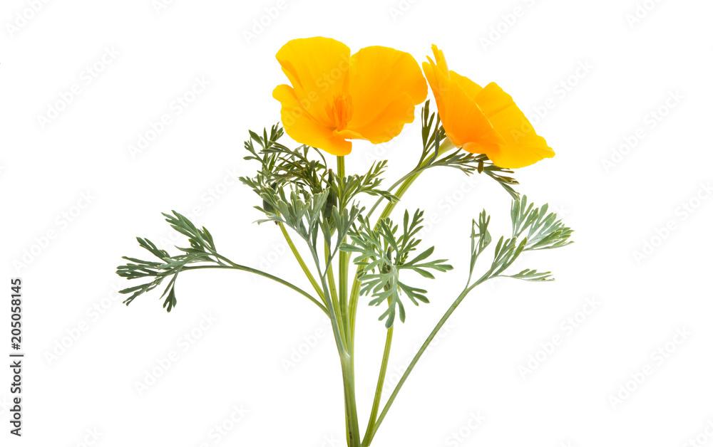 Kalifornijski makowy kwiat odizolowywający <span>plik: #205058145 | autor: ksena32</span>