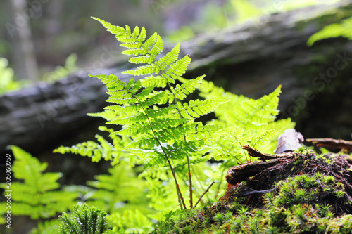 Close up of a fern in Montafon, Austria. Backlit Photograph