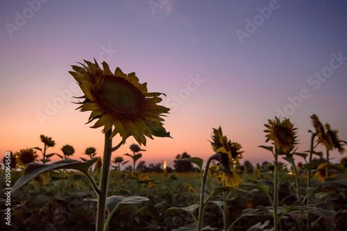 Staande foto Lavendel 夕暮れの向日葵