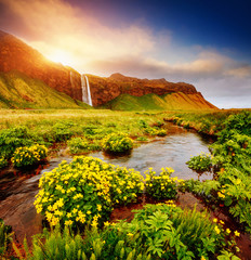 Fototapeta Do salonu Lovely view of blooming green field. Location place Seljalandfoss waterfall, Iceland.