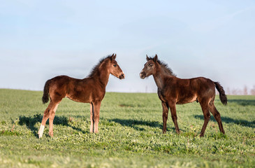 Two foals playing on the pasture.