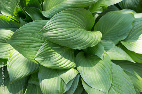 Green leaf background, green leaves pattern texture background.