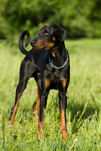 Photo Dobermann steht in einer Wiese