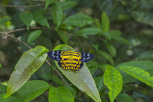 The Spotted Golden-looper Moth...