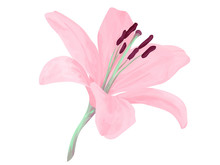 Vector Isolated Lily Flower. D...