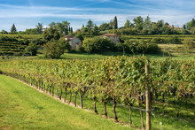 Italian Vineyards - Valpolicella Wine - Verona