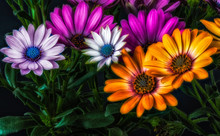 Fine Art Surreal Colorful Vintage Cape Daisy/marguerite Blossoms On Black Background, Flower Macro Of Wide Open Blooms In Violet Orange And Pinks,green With Leaves,buds  In Painting Style
