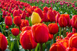 Colourful flower fields with tulips