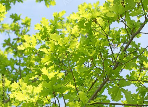Junge Blätter der Stieleiche, Quercus robur