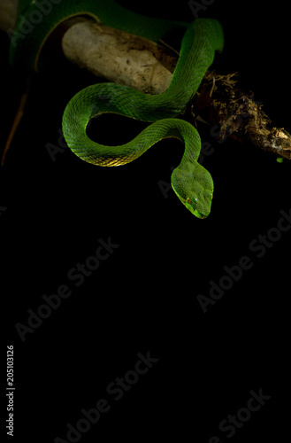 Green pit viper on black background - Buy this stock photo